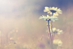 vintage daisy chamomile flowers field at sunrise