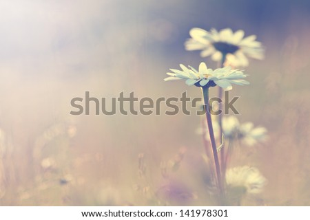Stock Photo vintage daisy chamomile flowers field at sunrise