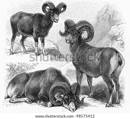 stock photo vintage drawings of ovis montana ovis polli and ovis musimon wild sheep picture from meyers 98575412 This super hot and petite littlenaked teen girl
