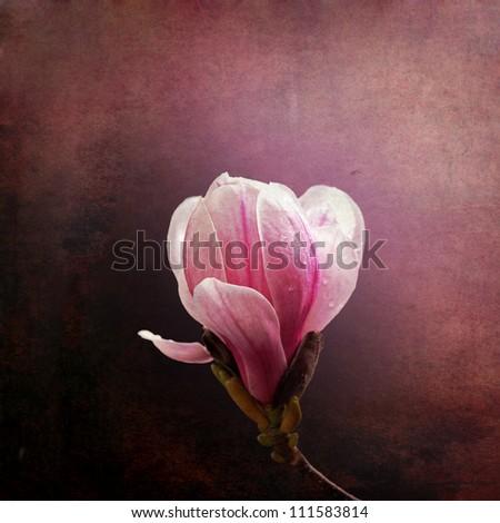 Vintage effect magnolia bloom on grunge background