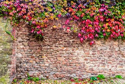 Vintage frame with red ivy leaves over old red stone wall, copy space. Red Old Brick Wall Backdrop. Autumn red leaves background.