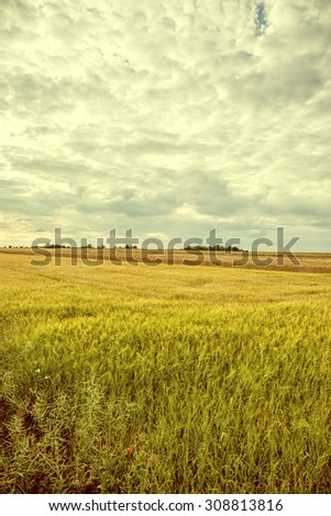 Vintage image cultivated fields of grain and rapeseed. #308813816