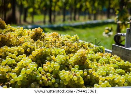 vintage in the vineyard