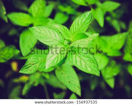 Vintage looking Close up view of a peppermint plant