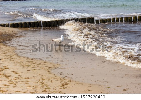 vintage looking shot of a seagull on the beach watching the breaking waves of the ocean/ breakwaters made out of wooden stakes and a seagull at the Baltic Sea in Germany/ seagull at the ocean #1557920450