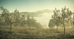 Vintage panorama with olive garden, traditional Tuscany landscape. Lomography style