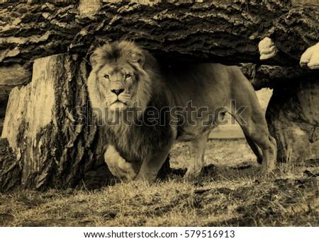 vintage photo of a lion. old...