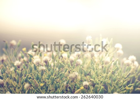 Vintage photo of Abstract nature background with wild flowers and plants dandelions