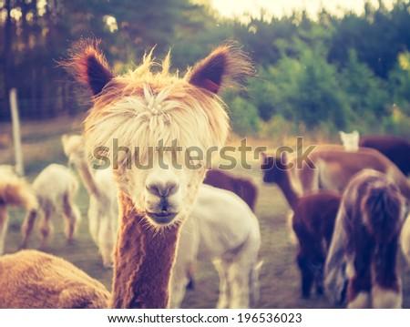 Stock Photo vintage photo of alpaca