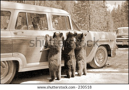 Vintage photo of bear cub looking into a tourist car in Yellowstone National Park