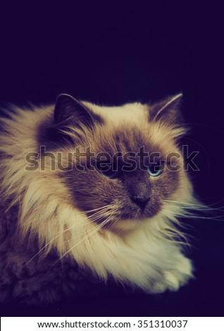 Vintage photo of beautiful Neva Masquerade cat portrait. Adult purebred siberian cat photographed on black background.