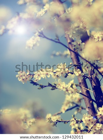 Vintage photo of cherry tree flowers with blue sky
