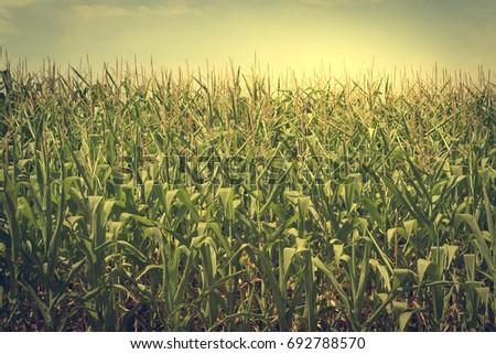 vintage photo of corn field...
