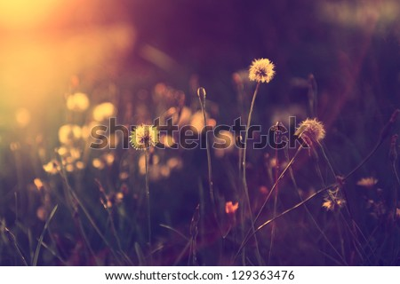 Vintage photo of dandelion field in sunset