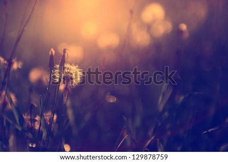Vintage photo of dandelion wild flower in sunset