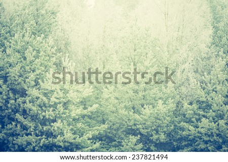 vintage photo of evergreen forest frosted background