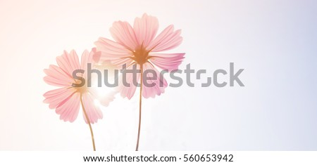 Vintage photo of flower in the garden with retro filter effect style for soft background.Abstract Cosmos flowers in sunset background. Nature and environment concept.Soft pastel tone color style.