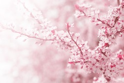 Vintage photo of pink cherry tree flower in spring