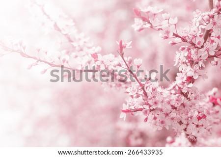 Vintage photo of pink cherry tree flower in spring