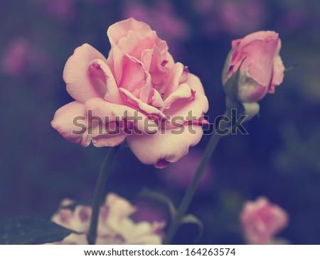 Vintage photo of rose