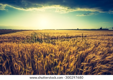 Vintage photo of sunset over corn field at summer. Beautiful grown corn ears in summertime field at sunset. #300297680