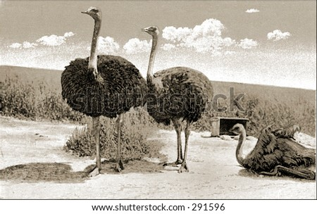 Vintage photo of Three Ostriches
