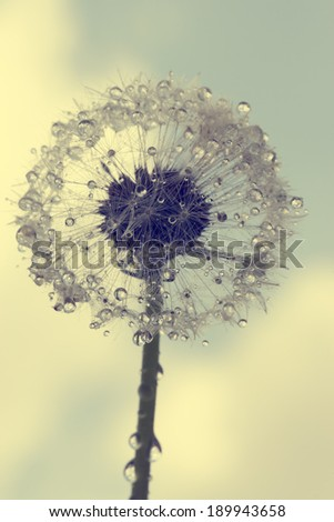 vintage photo of wet dandelion