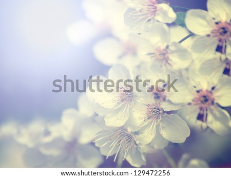 Vintage photo of white cherry tree flower in spring