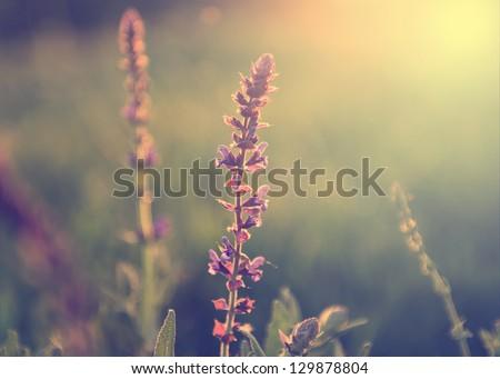 Vintage Photo Of Wild Flower In Sunset