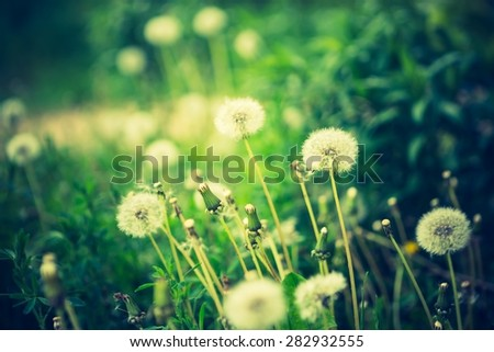 Vintage photo of withered dandelions flowers. Nature abstract.