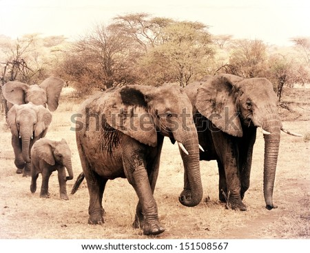 vintage photograph from a herd of elephants during a safari in Africa