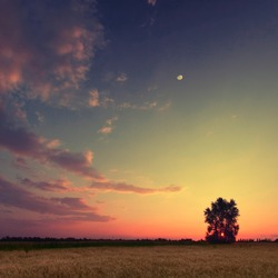 Vintage picture. Sunset with moon and clouds sky in a wheat field with lonely tree