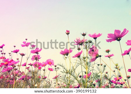 Vintage Pink Cosmos flowers with sky #390199132