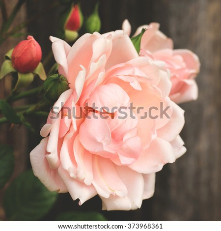 Rose Soft Pink Blur Background Stock Photo - Image: 72938037