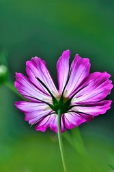Vintage pink with white Cosmea flower close up on blurred green background. Beautiful single Cosmos flower with delicate pink with magenta edges of petals, back side view.