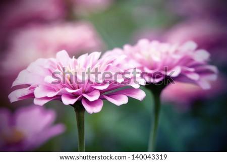 Vintage Pink Zinnia flowers - stock photo