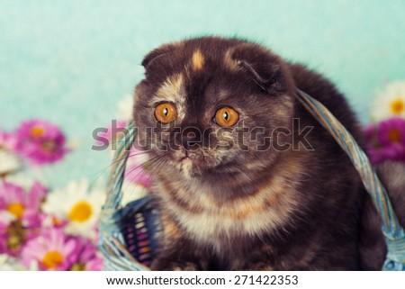 Vintage portrait of cute scottish fold kitten in a basket