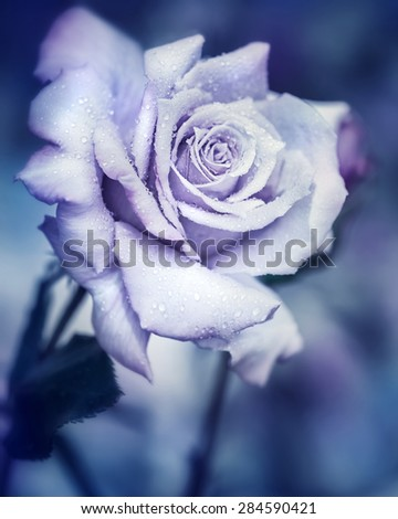 Stock Photo Vintage rose at night, beautiful gentle flower with raindrops under the moonlight, dreamy fantasy garden