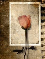 Vintage rose in grunge paper background