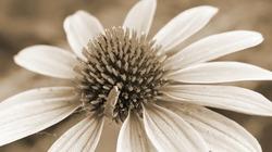 Vintage sepia photo of big flower