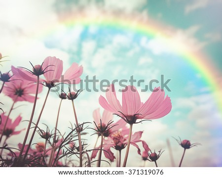 Vintage style and soft focus photo of beautiful pink cosmos flowers in garden with rainbow  , selective focus. For background or poster.