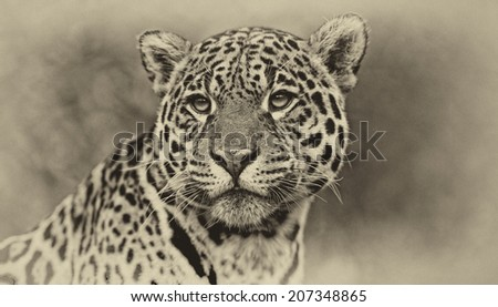 Vintage style black and white image of a Jaguar - Panthera onca. The jaguar is the third-largest feline after the tiger and the lion, and the largest in the Western Hemisphere.  #207348865