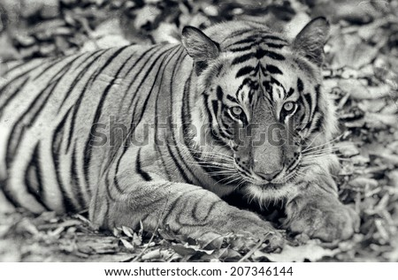 Vintage style black and white image of a Large male Bengal tiger in Bandhavgarh National Park, India