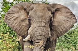 Vintage style image of a gigantic male african elephant in the Kruger National Park, South Africa