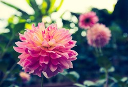 Vintage style of a closed up pink dahlia with multilayered petals and yellow pollen inside. Green and pink dahlias in a soft tone background