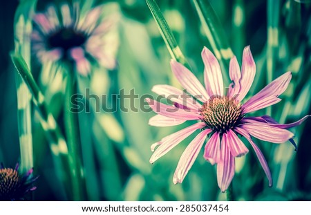 Vintage style photo of purple Echinacea flower ( Cone Flower )