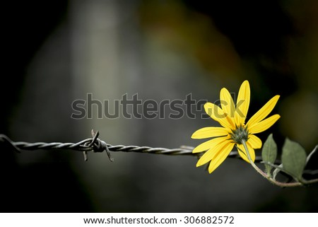 Vintage style Yellow Flower on the barbed wire