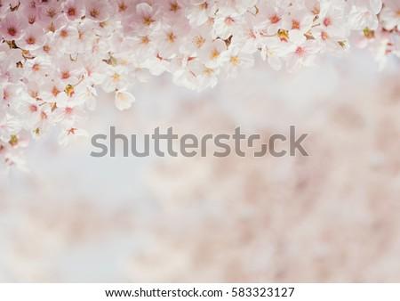 Vintage sweet soft tone of sakura or cherry blossom flower full bloom in spring season.