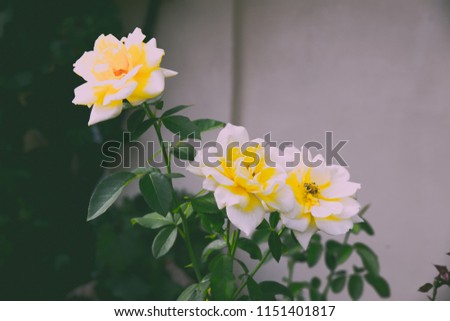 Vintage tender picture of yellow rose in the garden. Romantic background with rose in pastel colours.