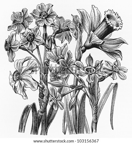 Vintage 19th century drawing of the Easter flower (Narcissus pseudonarcissus) - Picture from Meyers Lexikon book (written in German language) published in 1908 Leipzig - Germany.